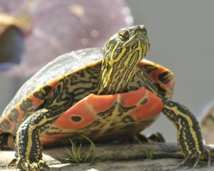 Painted Turtle at Lake